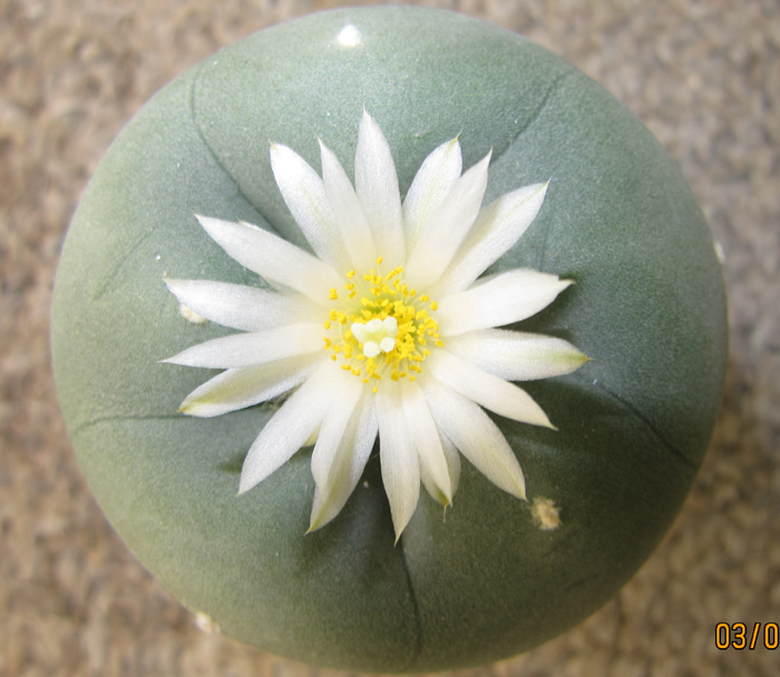 Lophophora Diffusa in flower