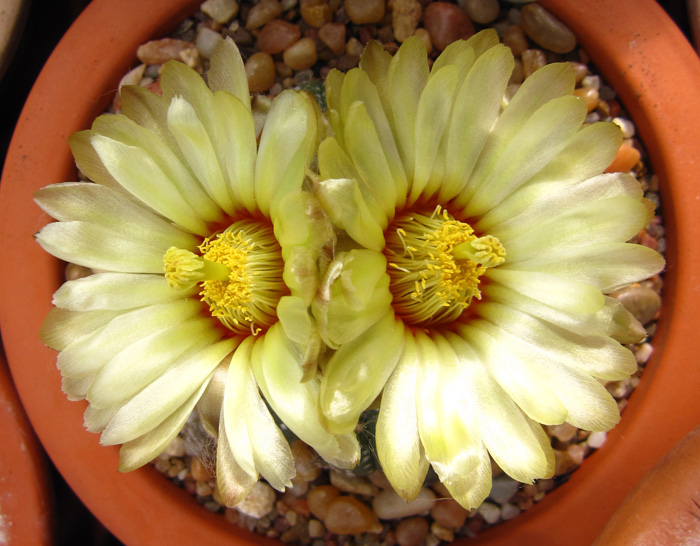 Astrophytum asterias in full bloom